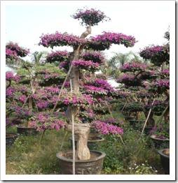 زراعة نبات الجهنمية(المجنونة Bougainvillea 0,0,483,16644,506,593,0ea9fa4f_thumb[2].jpg?imgmax=800